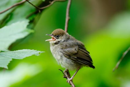 bird song: Blackcap (Sylvia atricapilla). fledgling Stock Photo