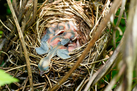 Sylvia borin. The nest of the Garden Warbler in nature. Russia. Russia, the Ryazan region (Ryazanskaya oblast), the Pronsky District. Stock Photo