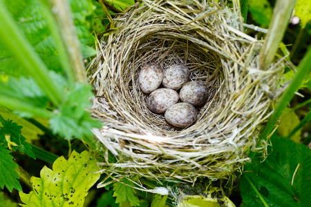 Acrocephalus dumetorum. The nest of the Blyths Reed Warbler in nature. Russia, the Ryazan region (Ryazanskaya oblast), the Pronsky District, Denisovo.
