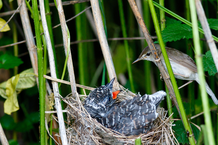 Acrocephalus palustris. The nest of the Marsh Warbler in nature. Common Cuckoo (Cuculus canorus). Russia, the Ryazan region (Ryazanskaya oblast), the Pronsky District, Denisovo. Stock Photo