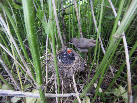 Acrocephalus palustris. The nest of the Marsh Warbler in nature. Common Cuckoo (Cuculus canorus). Russia, the Ryazan region (Ryazanskaya oblast), the Pronsky District, Denisovo. Stock Photo