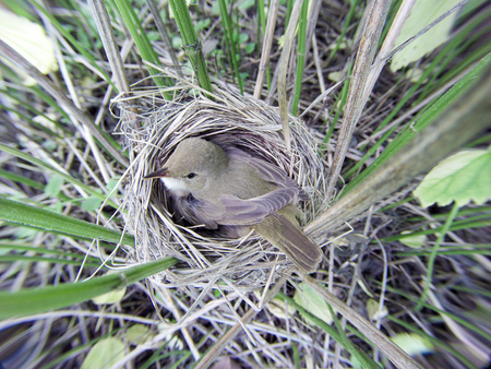 The nest of the Marsh Warbler in nature 版權商用圖片