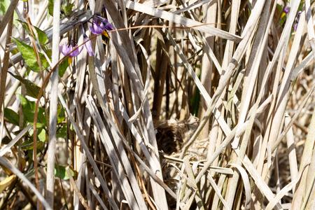 Acrocephalus agricola. The nest of the Paddyfield Warbler in nature. Russia, the Ryazan region (Ryazanskaya oblast), the Pronsky District. Nowomitschurinsk. Stock Photo - 91615286