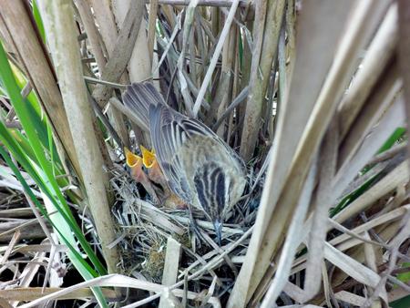 Acrocephalus schoenobaenus. The nest of the Sedge Warbler in nature. Russia. Russia, the Ryazan region (Ryazanskaya oblast), the Pronsky District.