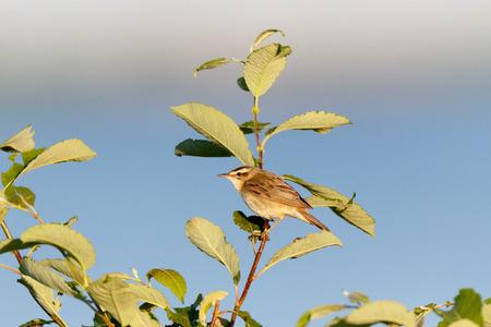Sedge Warbler (Acrocephalus schoenobaenus). Russia, the Ryazan region (Ryazanskaya oblast), the Pronsky District.