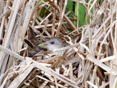 Porzana parva. The nest of the Little Crake in nature.  Russia, the Ryazan region (Ryazanskaya oblast), the Pronsky District, Nowomitschurinsk. Stock Photo