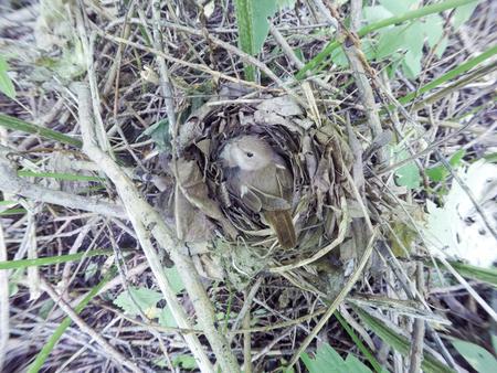 Luscinia luscinia. The nest of the Thrush Nightingale in nature.  Russia, the Ryazan region (Ryazanskaya oblast), the Pronsky District.