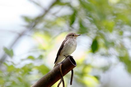 Spotted Flycatcher (Muscicapa striata). Typical habitat of birds.