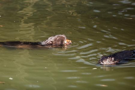 Castor fiber, Eurasian beaver. Russia, Moscow Stock Photo