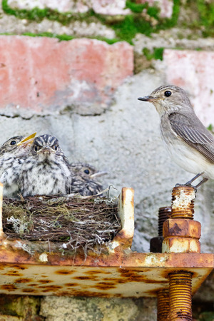 Muscicapa striata. The nest of the Spotted Flycatcher in nature. Russia, the Moscow region Stock Photo