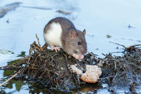 Rattus norvegicus, Brown Rat. Russia, Moscow Imagens