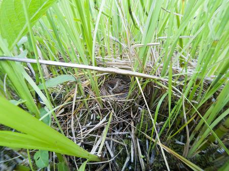 Emberiza schoeniclus. The nest of the Reed Bunting in nature. Russia, the Ryazan region (Ryazanskaya oblast), the Pronsky District. Stock Photo