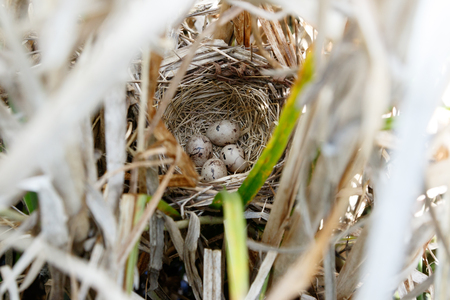 Emberiza schoeniclus. The nest of the Reed Bunting in nature. Russia, the Ryazan region (Ryazanskaya oblast), the Pronsky District. Stock Photo
