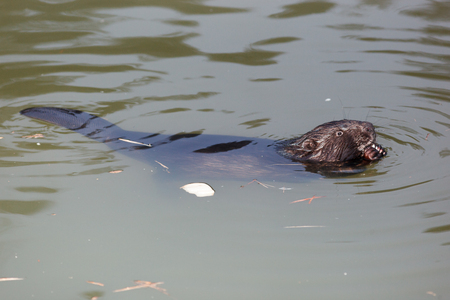 Castor fiber, Eurasian beaver. Russia, Moscow Stok Fotoğraf