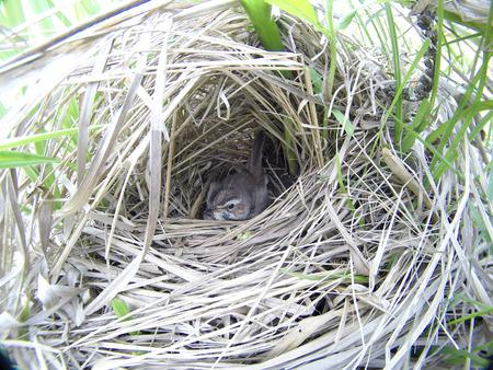 Luscinia svecica. The nest of the Bluethroat in nature. Russia. Russia, the Ryazan region (Ryazanskaya oblast), the Pronsky District.