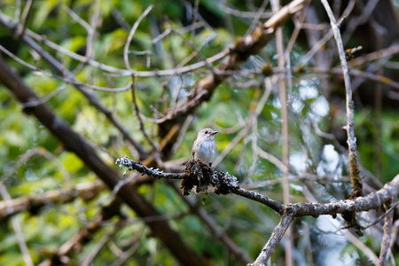 Spotted Flycatcher (Muscicapa striata). Typical habitat of birds.