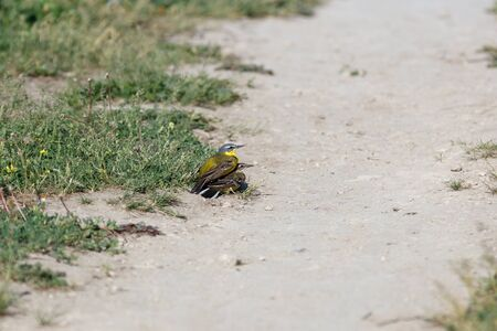 Yellow Wagtail (Motacilla flava) in the nature