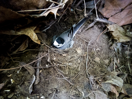 Motacilla alba. The nest of the White Wagtail in nature.  Moscow, Russia.