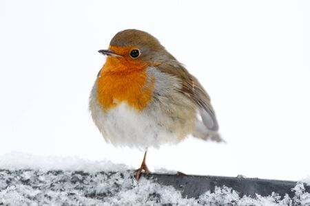 Robin (Erithacus rubecula). Russia, Moscow