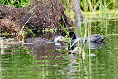 Common Coot (Fulica atra).  Moscow region, Russia
