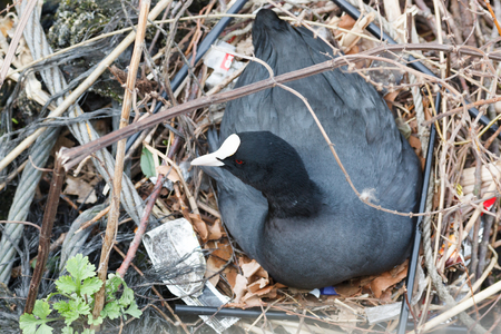 Fulica atra. The nest of the Common Coot in nature. Germany, Berlin.
