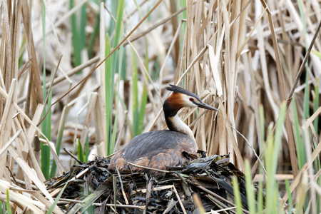 Podiceps cristatus. The nest of the Great Crested Grebe in nature. Moscow. Russia.