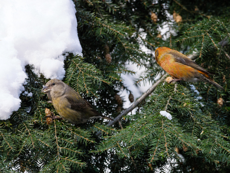 Crossbill (Loxia curvirostra). Russia,  Moscow.