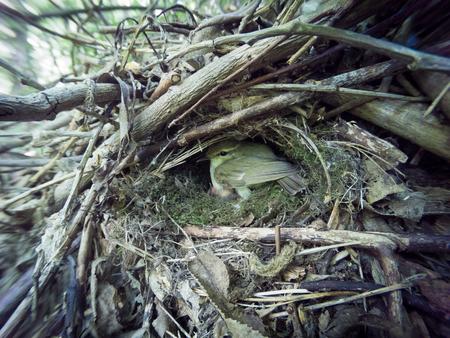 Phylloscopus trochiloides. The nest of the Greenish Warbler in nature. Russia, the Ryazan region (Ryazanskaya oblast), the Pronsky District, Denisovo.