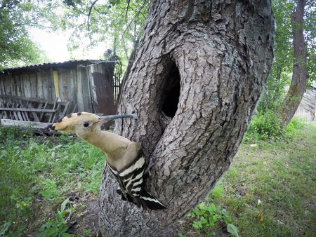 The nest of the Hoopoe in nature. Russia, the Ryazan region (Ryazanskaya oblast), the Pronsky District, Denisovo. 版權商用圖片