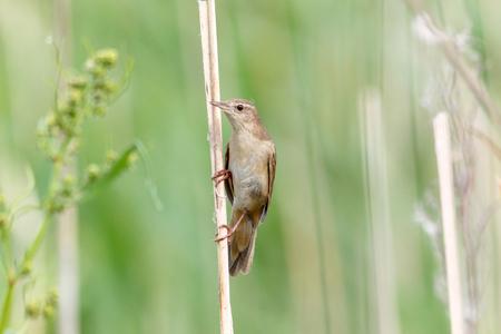 Savi's Warbler (Locustella luscinioides). Russia, Ryazan region, Nowomitschurinsk. Stock Photo - 105011490