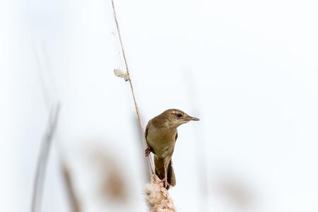 Savis Warbler (Locustella luscinioides). Russia, Ryazan region, Nowomitschurinsk.