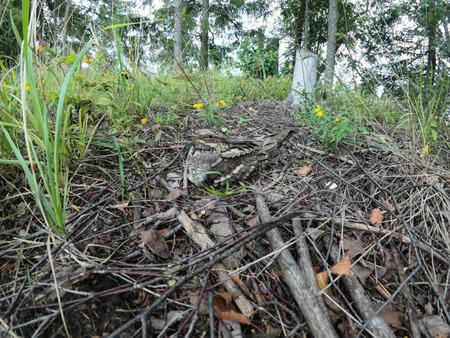 Caprimulgus europaeus. The nest of the European Nightjar in nature.  Moscow region, Russia. Stock Photo