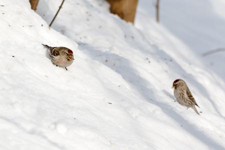 Чечетка обыкновенная. Redpoll (Acanthis flammea). Stok Fotoğraf