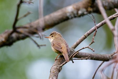 Камышовка болотна�. Marsh Warbler (Acrocephalus palustris). Banco de Imagens