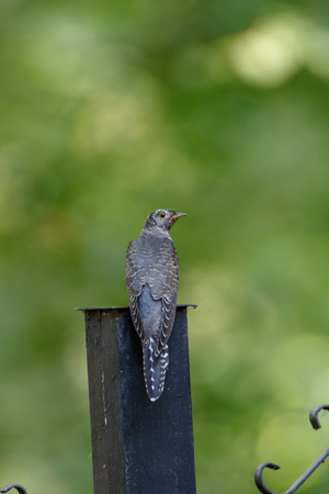 Young bird. Common Cuckoo (Cuculus canorus). Russia, the Moscow region 版權商用圖片