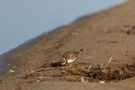 Little Ringed Plover (Charadrius dubius). Wild Bird.