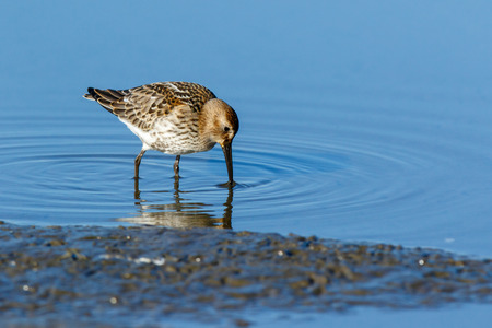 Dunlin (Calidris alpina) in the nature. Moscow region, Russia. Stock Photo
