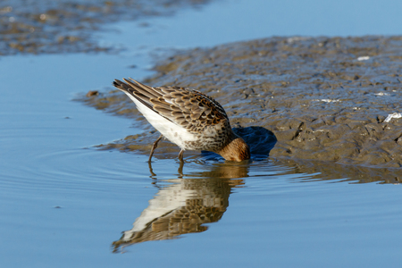Dunlin (Calidris alpina) in the nature. Moscow region, Russia.