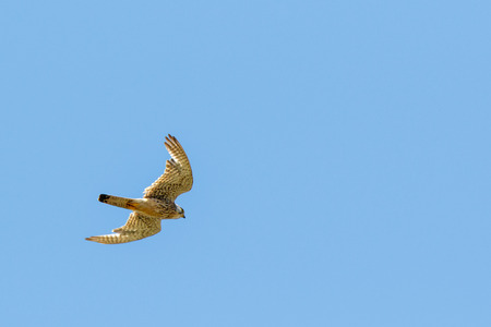 Common Kestrel (Falco tinnunculus). Russia, Moscow, Timirjazevsky park.