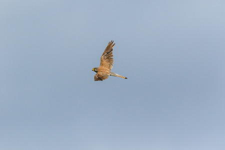 Common Kestrel (Falco tinnunculus). Russia. Russia, the Ryazan region (Ryazanskaya oblast), the Pronsky District.