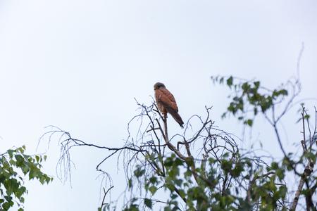 Common Kestrel (Falco tinnunculus). Moscow region. Russia