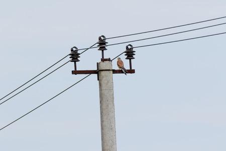 Пустельга. Common Kestrel (Falco tinnunculus). Russia, the Moscow region