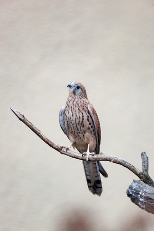 Russia, The Moscow Zoo. Common Kestrel (Falco tinnunculus).