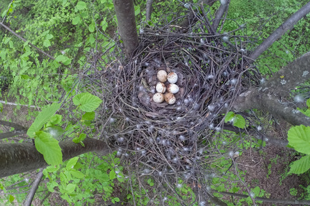 Accipiter nisus. The nest of the Eurasian Sparrowhawk in nature.