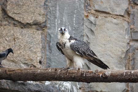 Lammergeier (Gypaetus barbatus). Russia, Zoo.