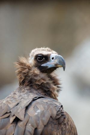 Cinereous Vulture (Aegypius monachus). Zoo