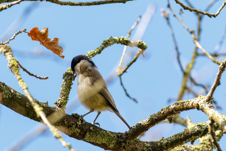 Marsh Tit (Parus palustris). Landkreis Vechta. Germany, Lower Saxony.