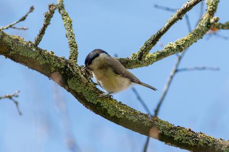 Carbonero común (Parus palustris). Landkreis Vechta. Alemania, Baja Sajonia.