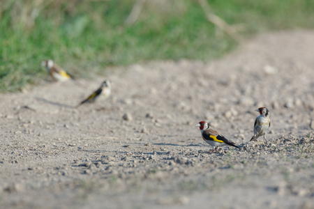 Goldfinch (Carduelis carduelis). Russia