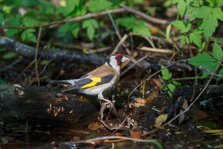 Goldfinch (Carduelis carduelis). Russia
